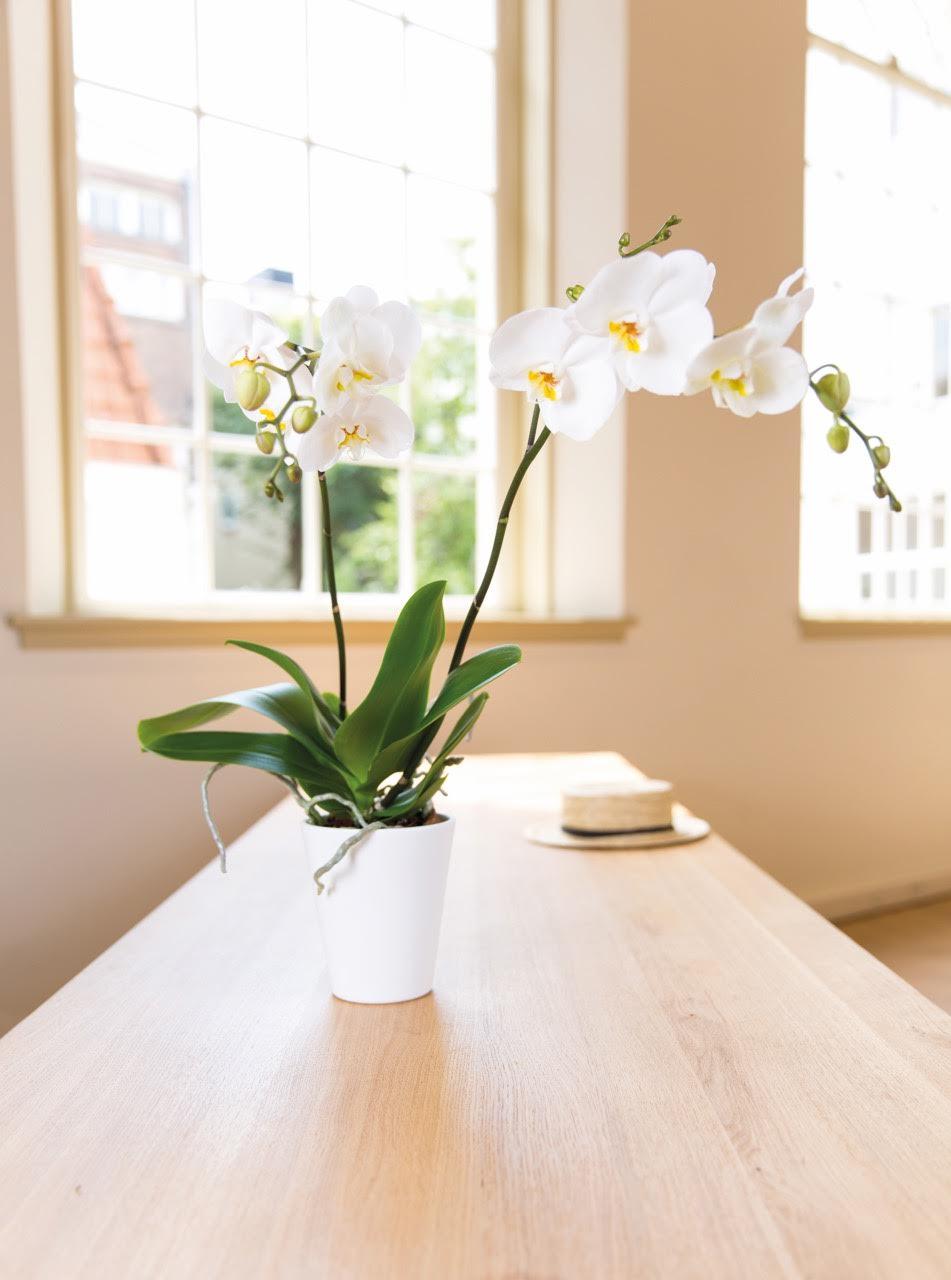 Die Phalaenopsis Orchidee: die perfekte Orchidee für Lars! © 2016 Bloemenbureau Holland