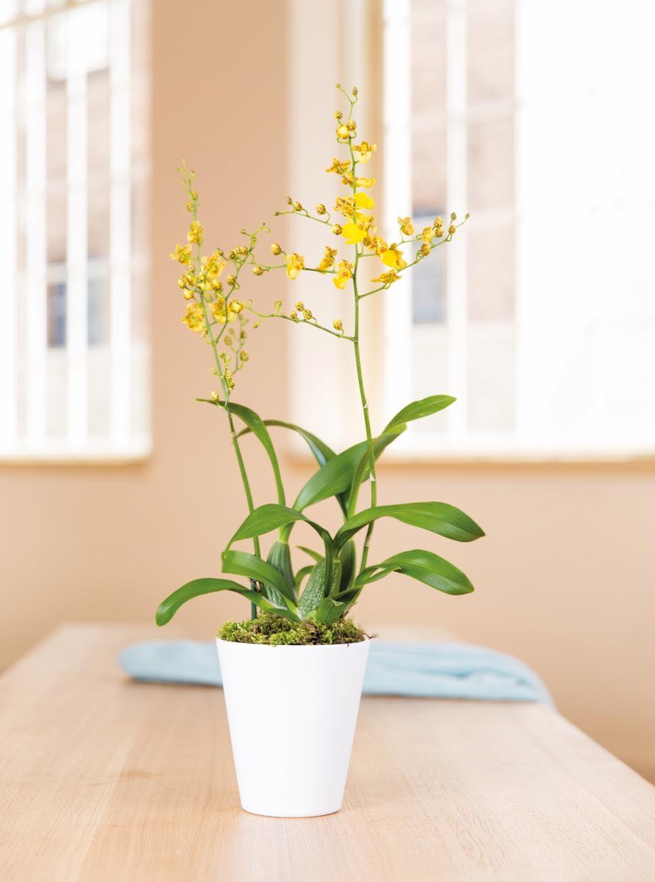 Die Oncidium Orchidee: Katrin's perfekte Orchidee! © 2016 Bloemenbureau Holland